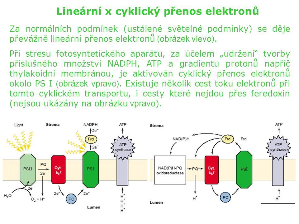 Lineární x cyklický přenos elektronů Za normálních podmínek (ustálené světelné podmínky) se děje převážně lineární přenos elektronů (obrázek vlevo). P