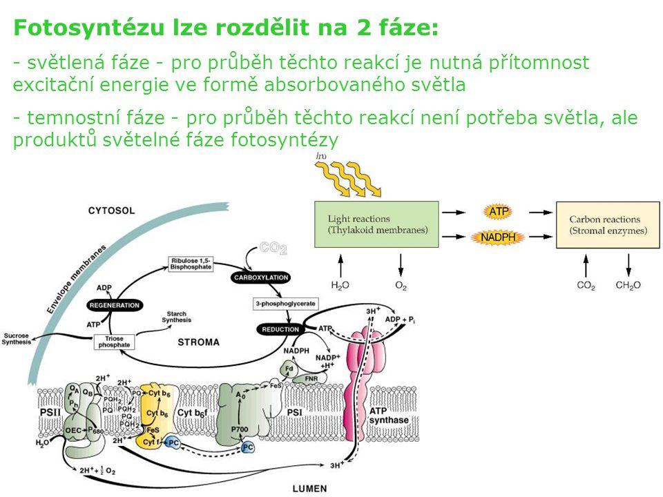 Fotosyntézu lze rozdělit na 2 fáze: - světlená fáze - pro průběh těchto reakcí je nutná přítomnost excitační energie ve formě absorbovaného světla - t