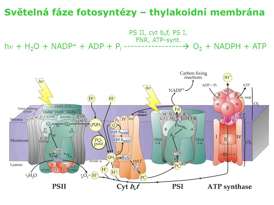 Světelná fáze fotosyntézy – thylakoidní membrána h + H 2 O + NADP + + ADP + P i -----------------  O 2 + NADPH + ATP PS II, cyt b 6 f, PS I, FNR, ATP
