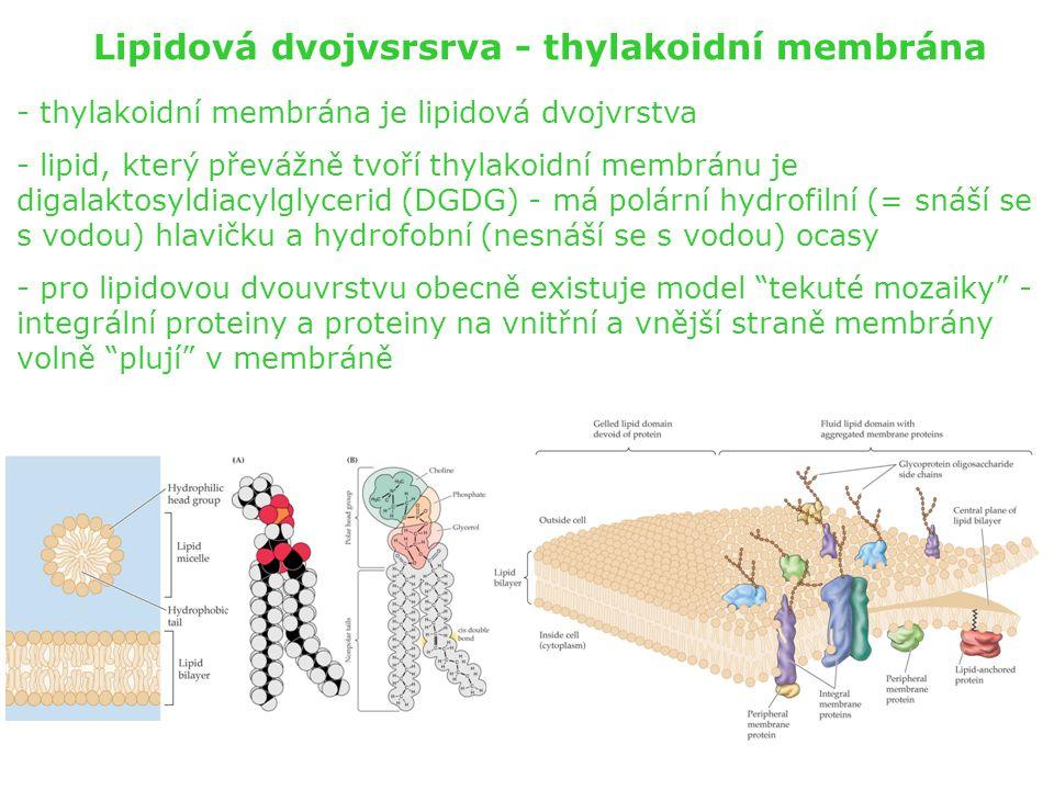 Lipidová dvojvsrsrva - thylakoidní membrána - thylakoidní membrána je lipidová dvojvrstva - lipid, který převážně tvoří thylakoidní membránu je digala