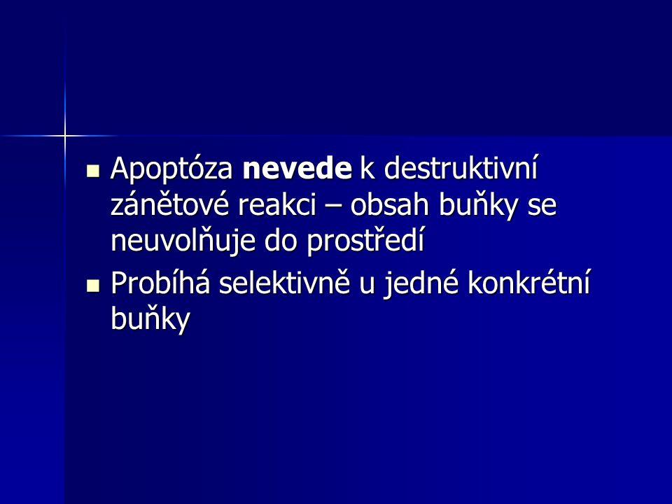 Apoptóza nevede k destruktivní zánětové reakci – obsah buňky se neuvolňuje do prostředí Apoptóza nevede k destruktivní zánětové reakci – obsah buňky s