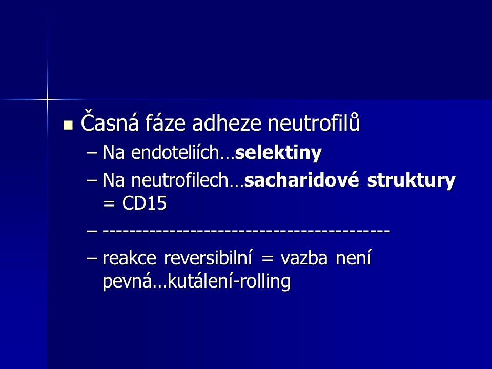 Časná fáze adheze neutrofilů Časná fáze adheze neutrofilů –Na endoteliích…selektiny –Na neutrofilech…sacharidové struktury = CD15 –-------------------