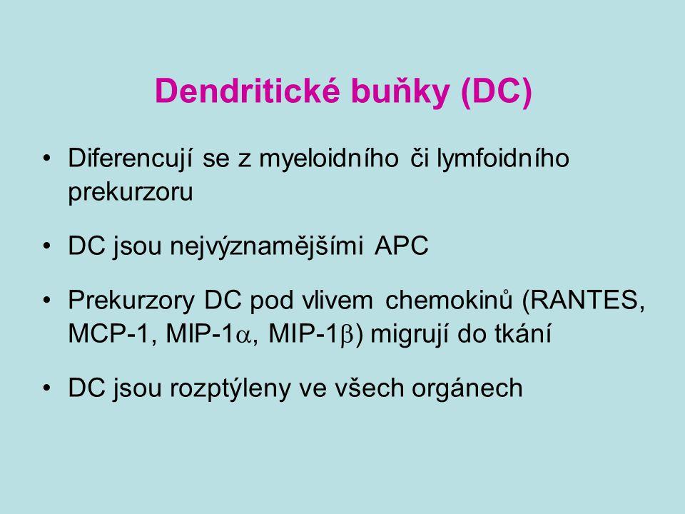 Dendritické buňky (DC) Diferencují se z myeloidního či lymfoidního prekurzoru DC jsou nejvýznamějšími APC Prekurzory DC pod vlivem chemokinů (RANTES,