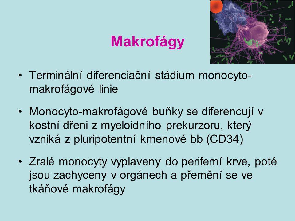 Funkce makrofágů Fagocytóza (rozpoznání patogenu, aktivace mikrobicidních mechanismů - usmrcení mikroba, jeho destrukce, prezentace epitopů T lymfocytům, indukce imunitní odpovědi) Produkce cytokinů, enzymů, složek kompl., mikrobicidních, cytotoxických a tumoricidních látek, bioaktivních lipidů (PG,PC,TX,LT)