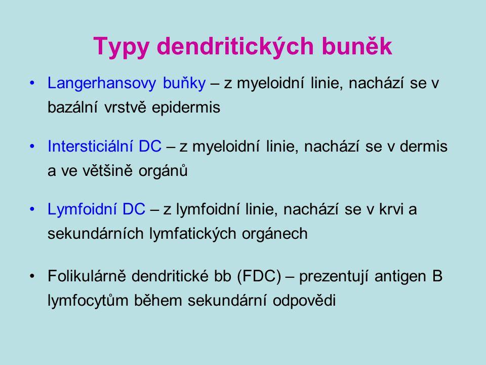 Typy dendritických buněk Langerhansovy buňky – z myeloidní linie, nachází se v bazální vrstvě epidermis Intersticiální DC – z myeloidní linie, nachází