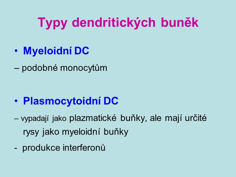 Typy dendritických buněk Myeloidní DC – podobné monocytům Plasmocytoidní DC – vypadají jako plazmatické buňky, ale mají určité rysy jako myeloidní buň