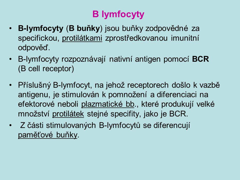 B-lymfocyty (B buňky) jsou buňky zodpovědné za specifickou, protilátkami zprostředkovanou imunitní odpověď. B-lymfocyty rozpoznávají nativní antigen p