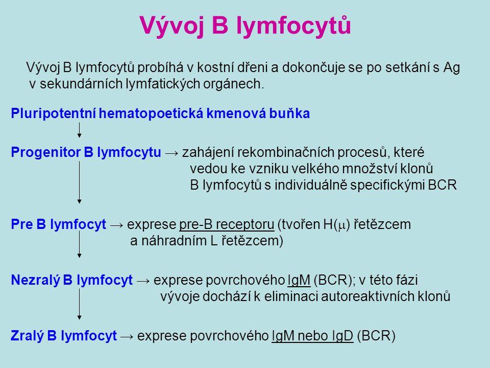 Vývoj B lymfocytů Vývoj B lymfocytů probíhá v kostní dřeni a dokončuje se po setkání s Ag v sekundárních lymfatických orgánech. Pluripotentní hematopo