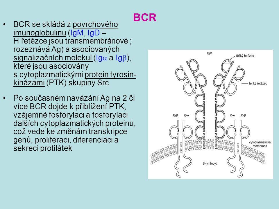 BCR BCR se skládá z povrchového imunoglobulinu (IgM, IgD – H řetězce jsou transmembránové ; rozeznává Ag) a asociovaných signalizačních molekul (Ig 