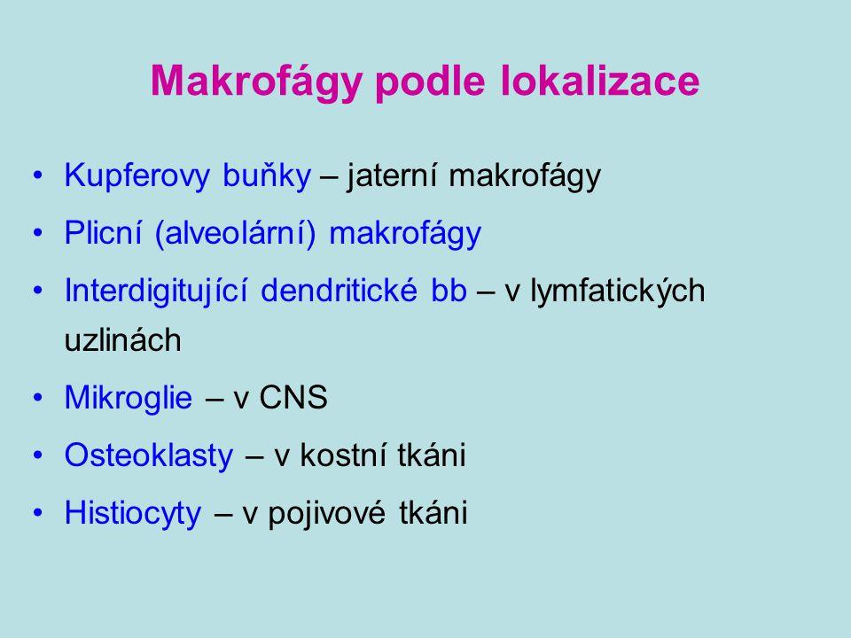 Makrofágy podle lokalizace Kupferovy buňky – jaterní makrofágy Plicní (alveolární) makrofágy Interdigitující dendritické bb – v lymfatických uzlinách