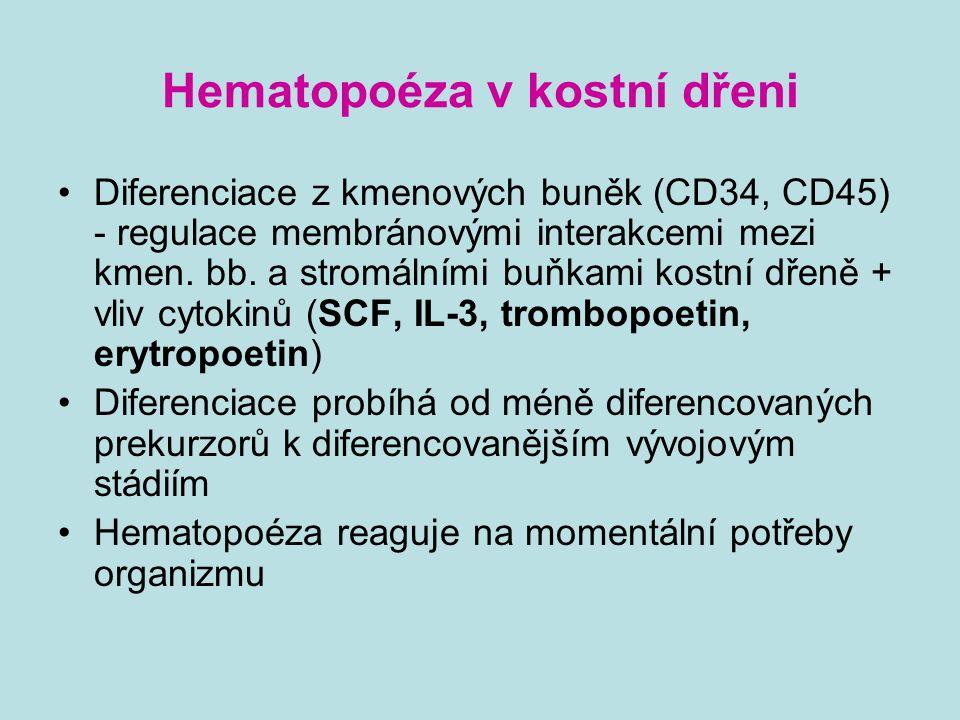 Hematopoéza v kostní dřeni Diferenciace z kmenových buněk (CD34, CD45) - regulace membránovými interakcemi mezi kmen. bb. a stromálními buňkami kostní