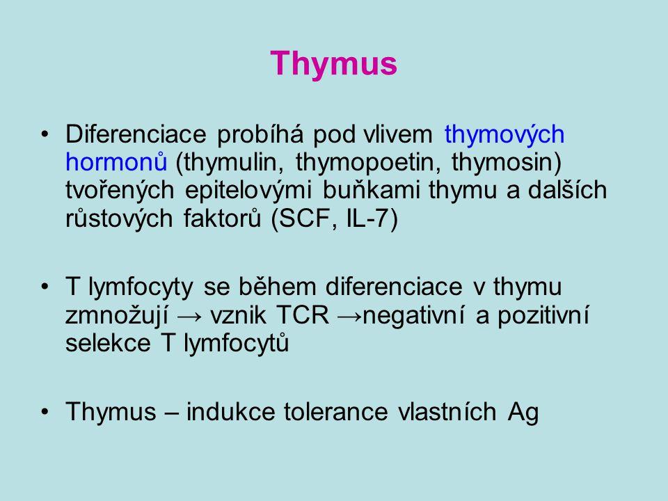 Thymus Diferenciace probíhá pod vlivem thymových hormonů (thymulin, thymopoetin, thymosin) tvořených epitelovými buňkami thymu a dalších růstových fak