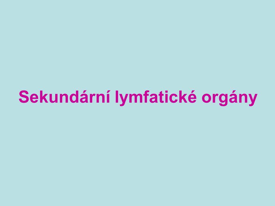 Sekundární lymfatické orgány