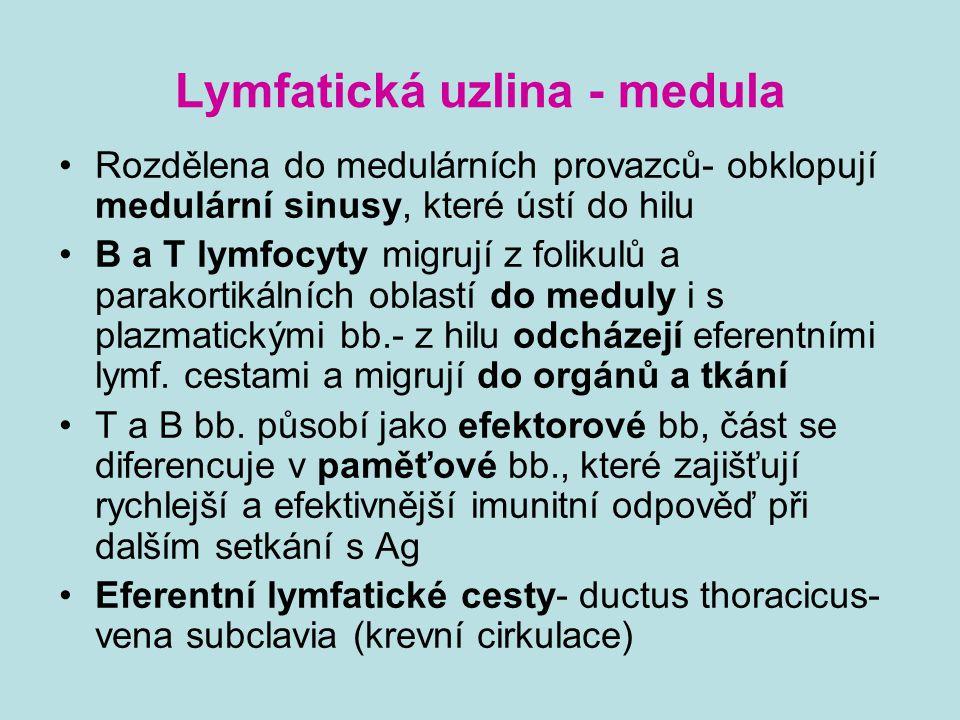 Lymfatická uzlina - medula Rozdělena do medulárních provazců- obklopují medulární sinusy, které ústí do hilu B a T lymfocyty migrují z folikulů a para