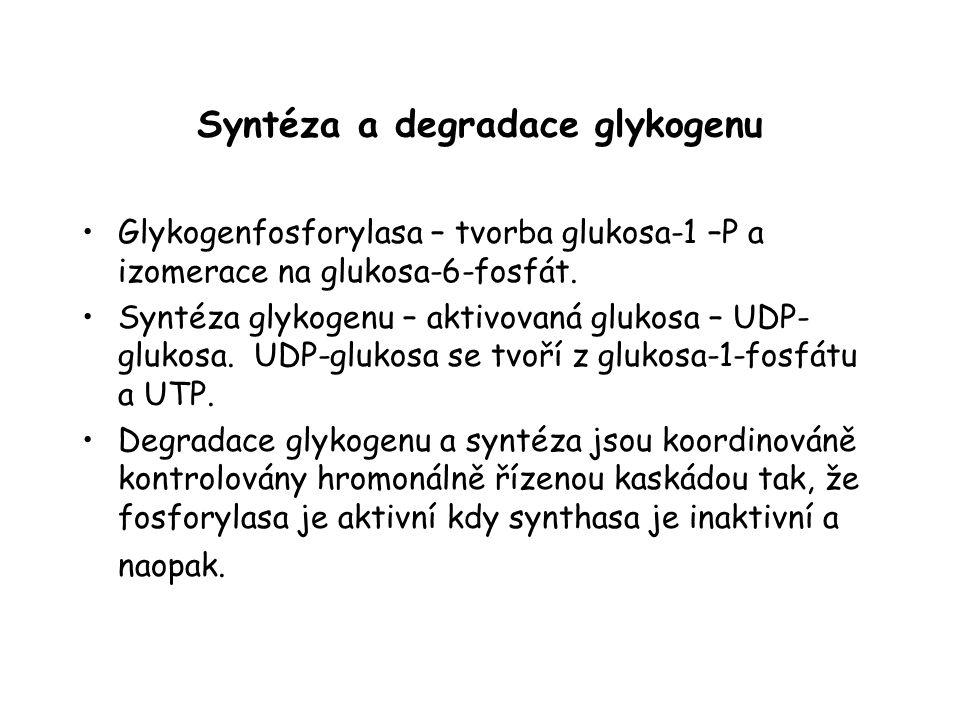 Syntéza a degradace glykogenu Glykogenfosforylasa – tvorba glukosa-1 –P a izomerace na glukosa-6-fosfát. Syntéza glykogenu – aktivovaná glukosa – UDP-