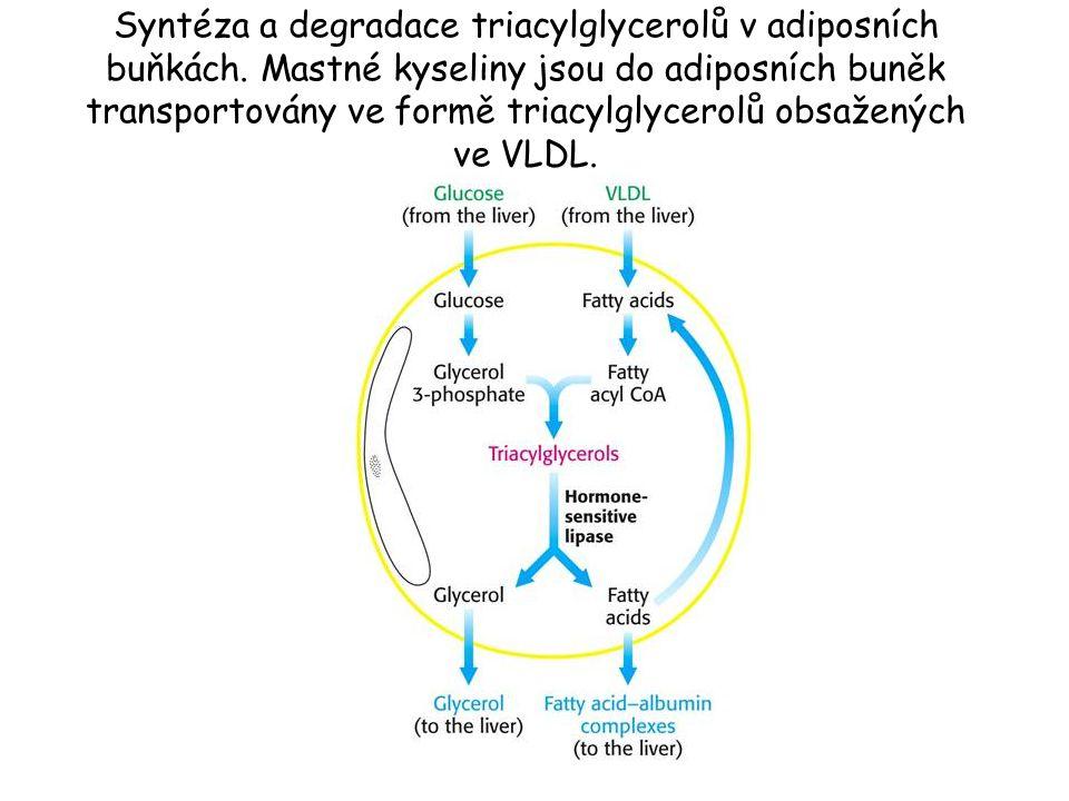 Syntéza a degradace triacylglycerolů v adiposních buňkách. Mastné kyseliny jsou do adiposních buněk transportovány ve formě triacylglycerolů obsaženýc