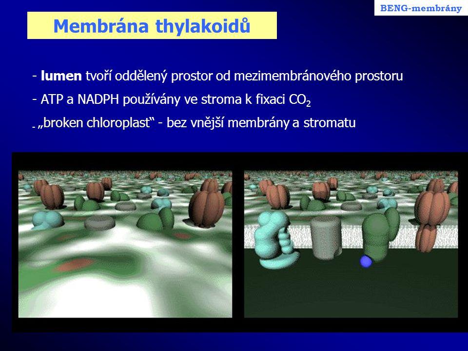 """Membrána thylakoidů - lumen tvoří oddělený prostor od mezimembránového prostoru - ATP a NADPH používány ve stroma k fixaci CO 2 - """"broken chloroplast"""""""