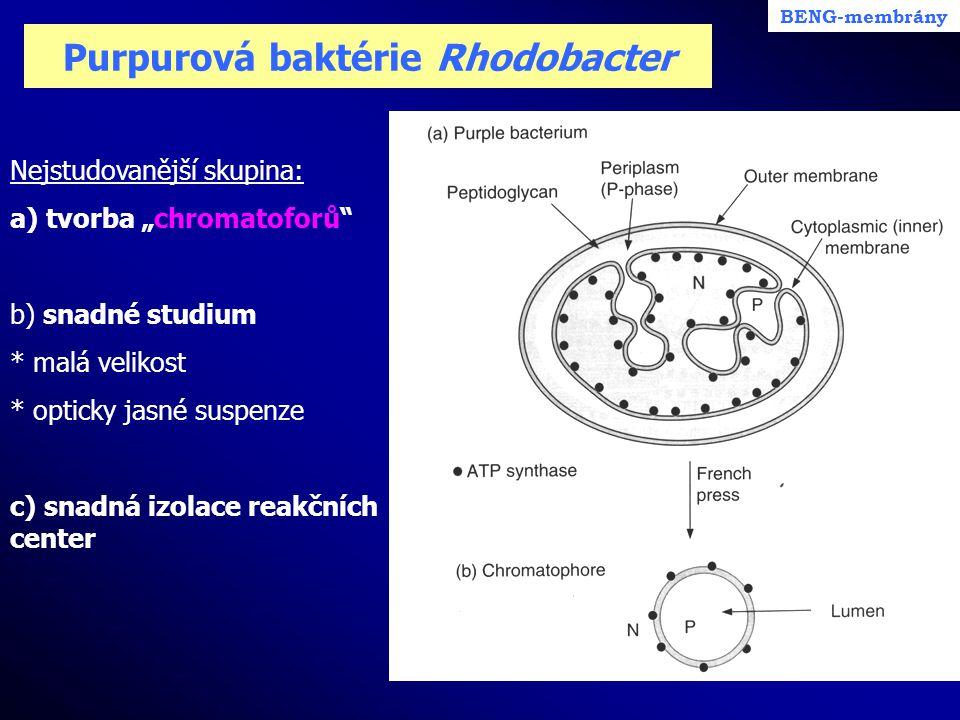 """Purpurová baktérie Rhodobacter Nejstudovanější skupina: a) tvorba """"chromatoforů"""" b) snadné studium * malá velikost * opticky jasné suspenze c) snadná"""