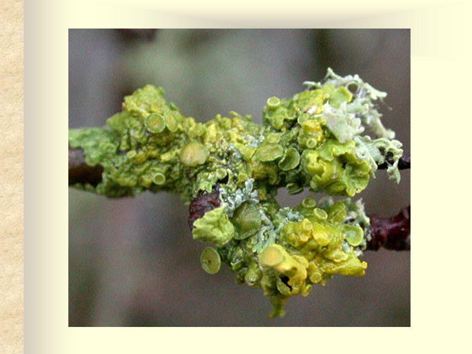 Pukléřka islandská Stélka je olivově zelená až šedohnědá, naspodu světlejší, šedobělavá, bíle skvrnitá využívá se v léčitelství roste v pahorkatině až vysoko do hor, v jehličnatých lesích, vřesovištích a rašeliništích