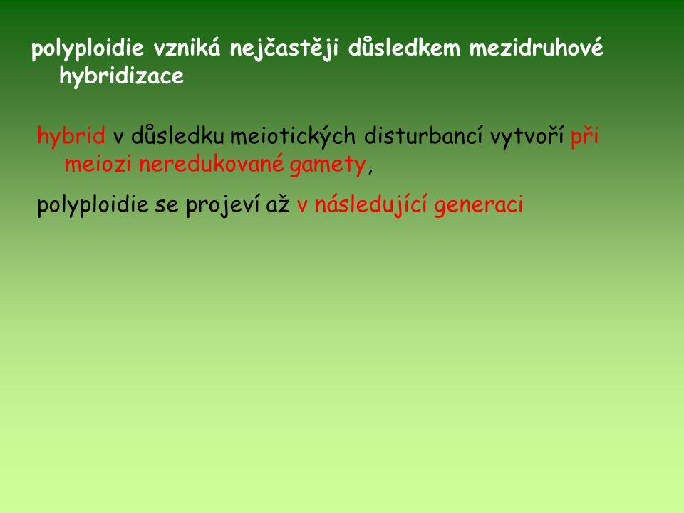 hybrid v důsledku meiotických disturbancí vytvoří při meiozi neredukované gamety, polyploidie se projeví až v následující generaci polyploidie vzniká