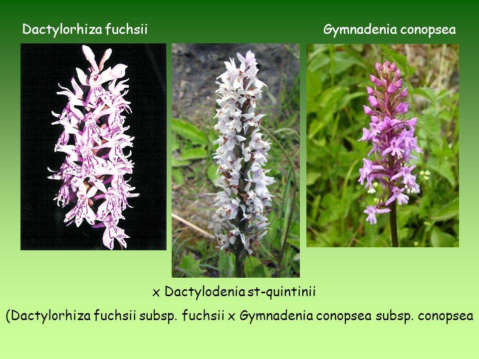 x Dactylodenia st-quintinii (Dactylorhiza fuchsii subsp. fuchsii x Gymnadenia conopsea subsp. conopsea Gymnadenia conopseaDactylorhiza fuchsii