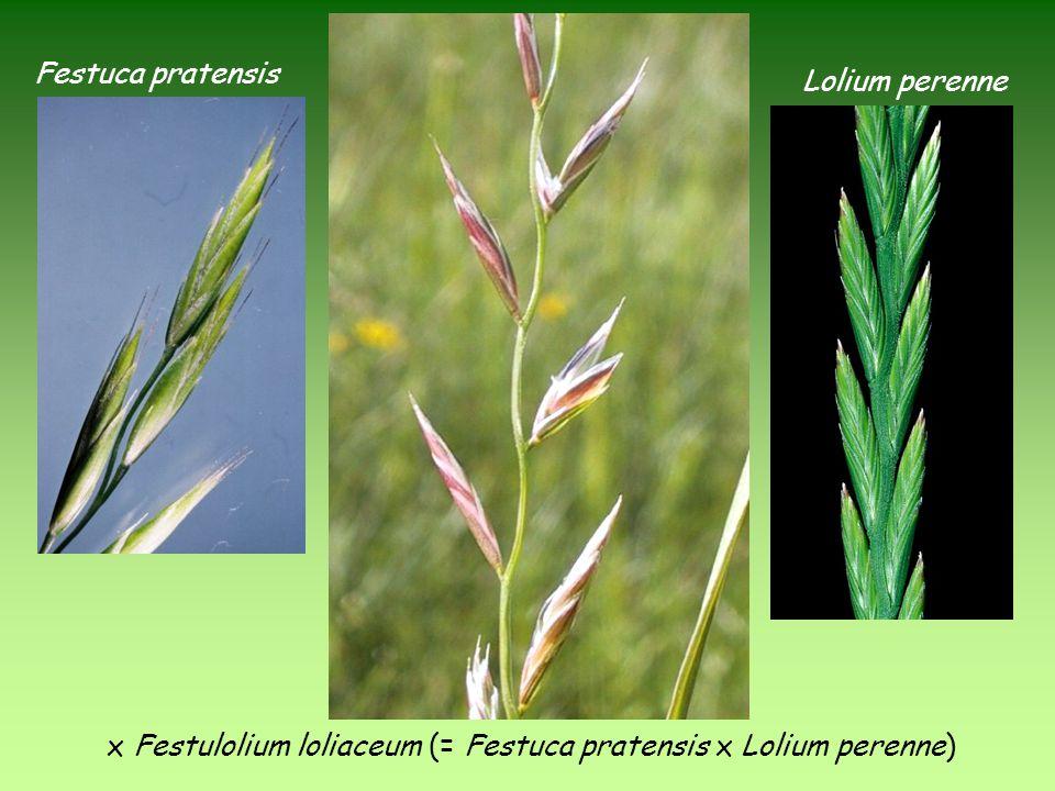 x Festulolium loliaceum (= Festuca pratensis x Lolium perenne) Festuca pratensis Lolium perenne