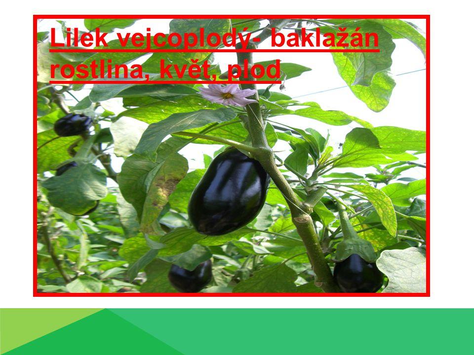 Lilek vejcoplodý- baklažán rostlina, květ, plod