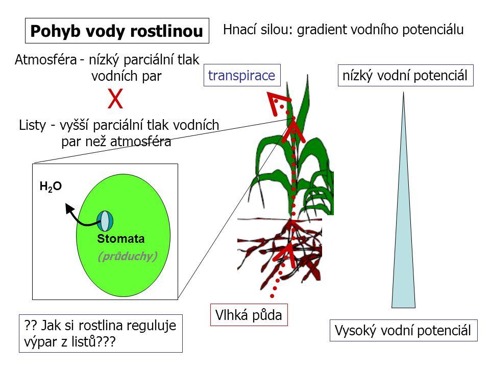 Pohyb vody rostlinou Hnací silou: gradient vodního potenciálu Atmosféra - nízký parciální tlak vodních par Listy - vyšší parciální tlak vodních par ne