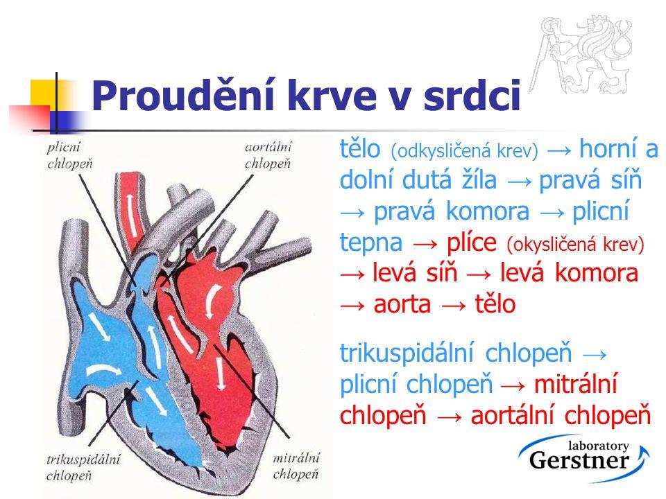 Proudění krve v srdci tělo (odkysličená krev) → horní a dolní dutá žíla → pravá síň → pravá komora → plicní tepna → plíce (okysličená krev) → levá síň