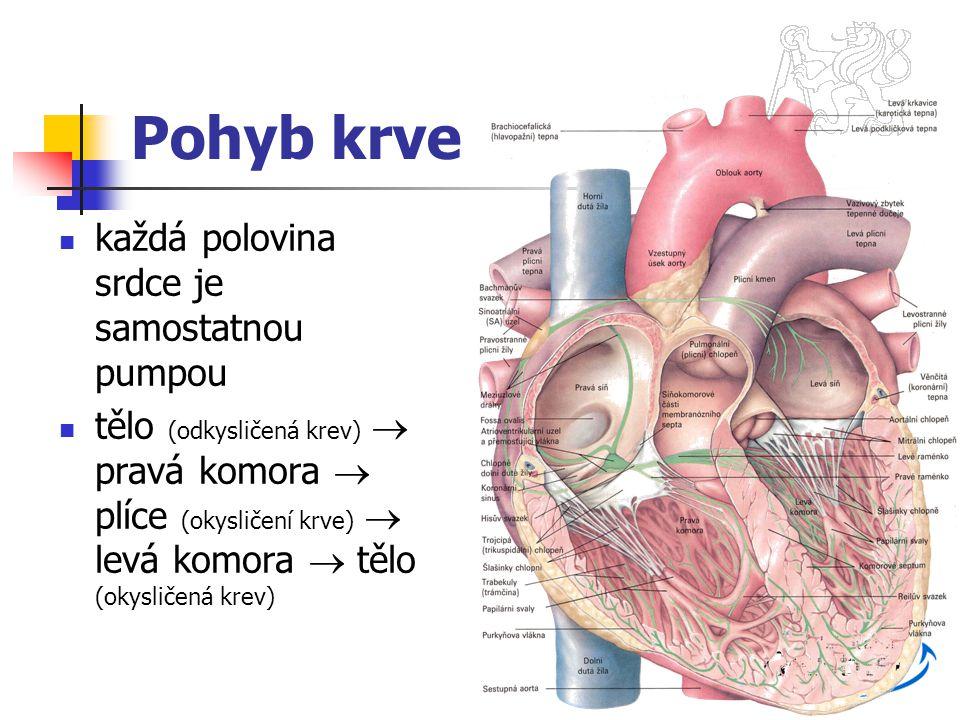 Pohyb krve každá polovina srdce je samostatnou pumpou tělo (odkysličená krev)  pravá komora  plíce (okysličení krve)  levá komora  tělo (okysličen