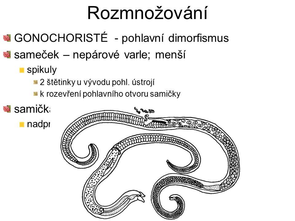 Rozmnožování GONOCHORISTÉ - pohlavní dimorfismus sameček – nepárové varle; menší spikuly 2 štětinky u vývodu pohl. ústrojí k rozevření pohlavního otvo
