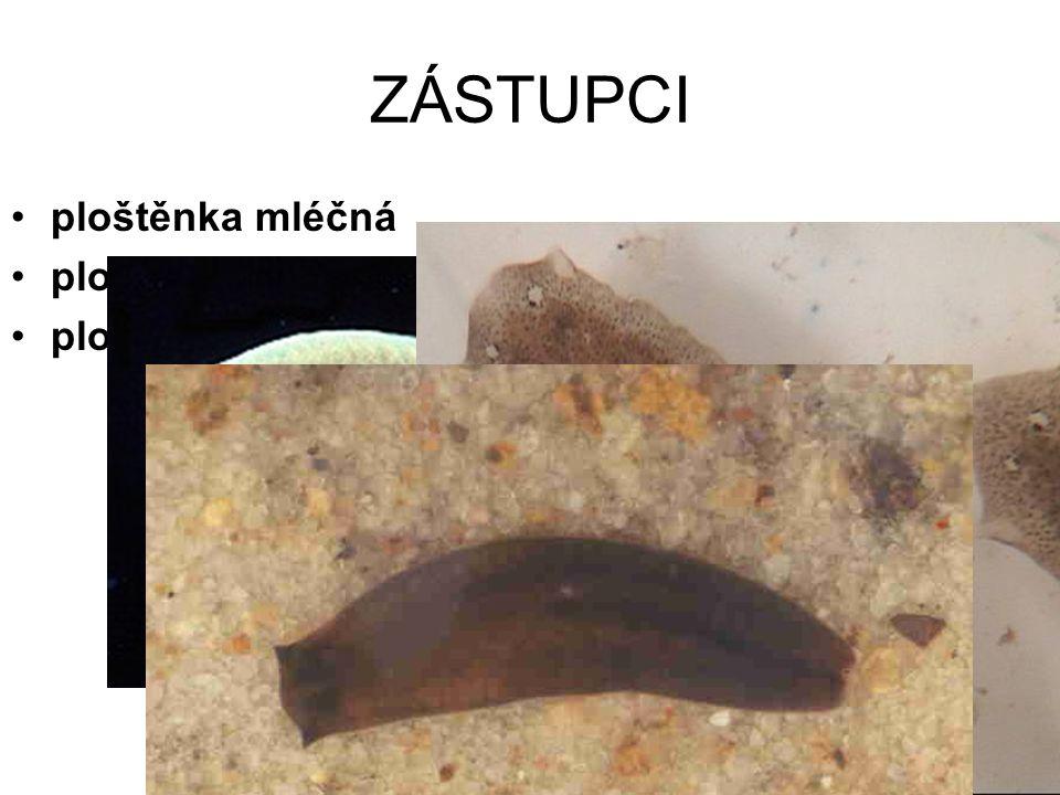 Tř: MOTOLICE listový tvar těla parazitický způsob života ekto- i endoparazité KUTIKULA PŘÍSAVKY výkonné POHL.