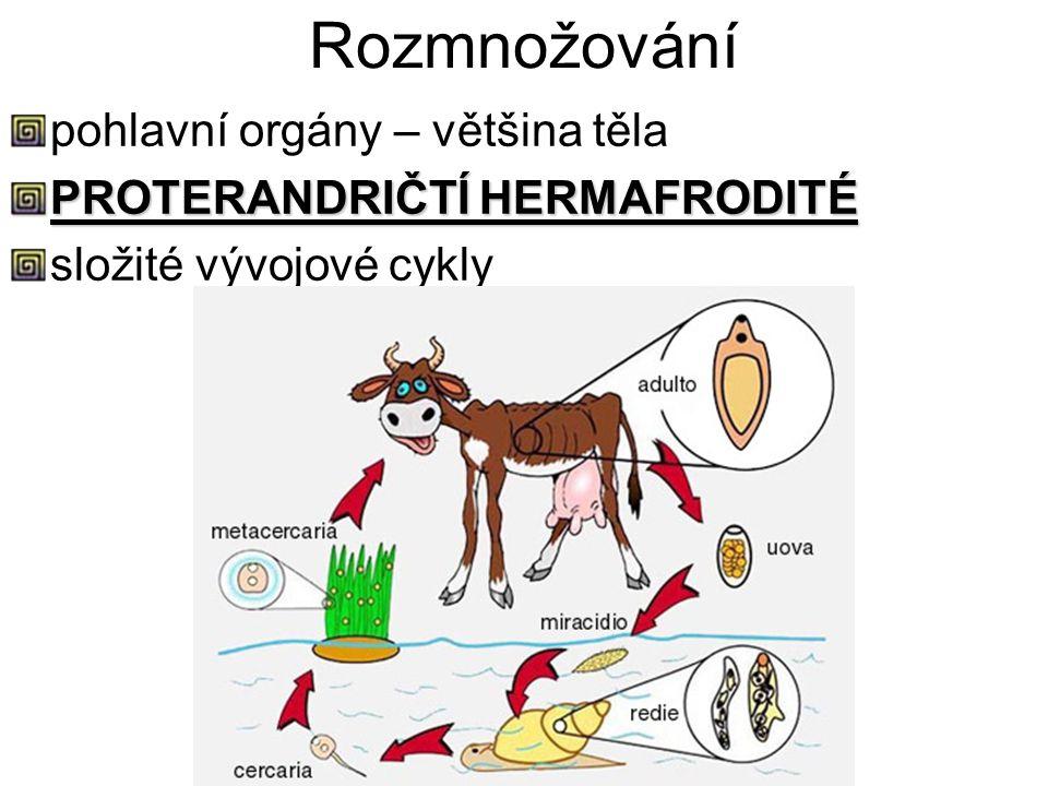 Rozmnožování pohlavní orgány – většina těla PROTERANDRIČTÍ HERMAFRODITÉ složité vývojové cykly