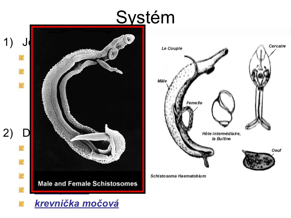 Systém 1)Jednorodí ektoparazité nestřídají hostitele žábrohlíst dvojitý 2)Dvojrodí endoparazité střídají hostitele motolice jaterní m. kopinatá krevni