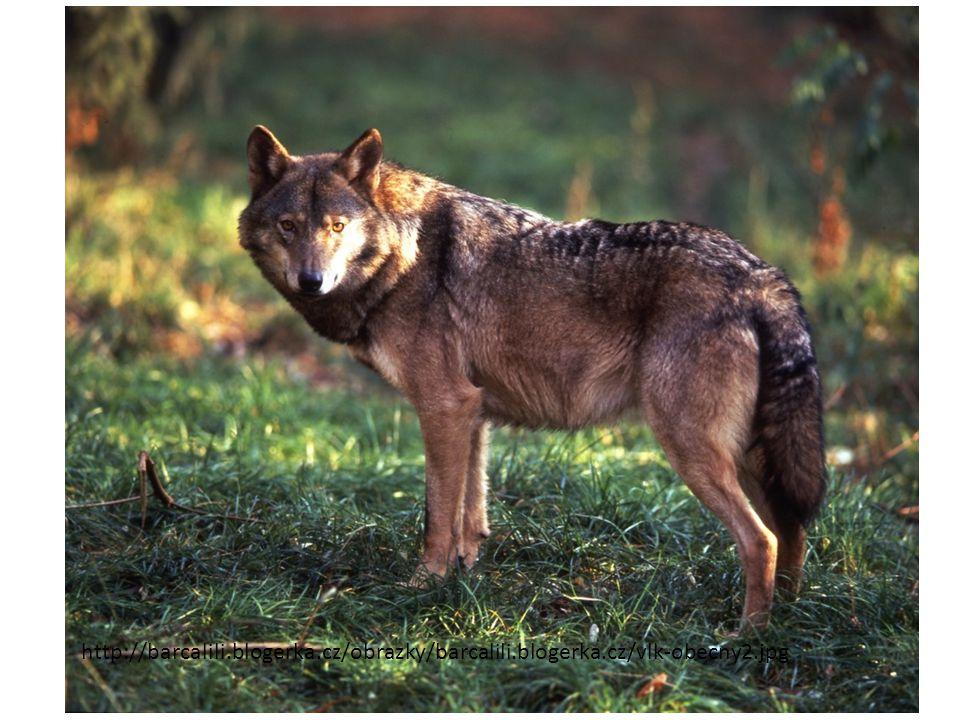 http://files.pzjalicnak.webnode.sk/200000024-97f1798eba/Vlk-dravy-Canis-lupus.jpg