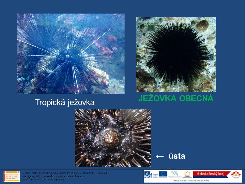 Tropická ježovka JEŽOVKA OBECNÁ ← ústa Učební materiál vznikl v rámci projektu INFORMACE – INSPIRACE – INOVACE, který je spolufinancován Evropským soc