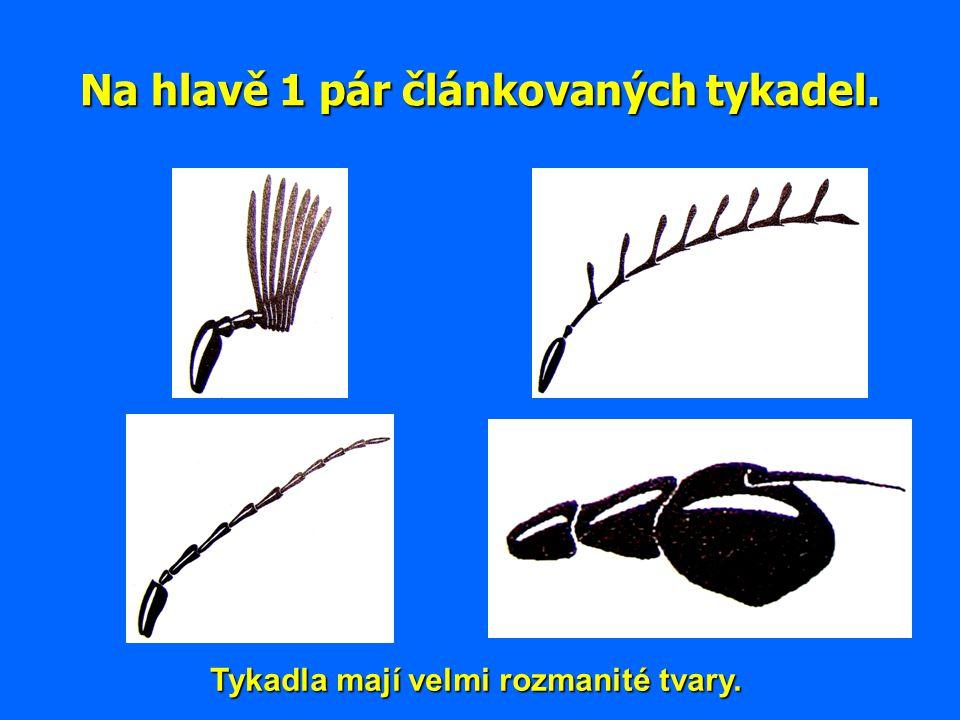 Na hlavě 1 pár článkovaných tykadel. Tykadla mají velmi rozmanité tvary.