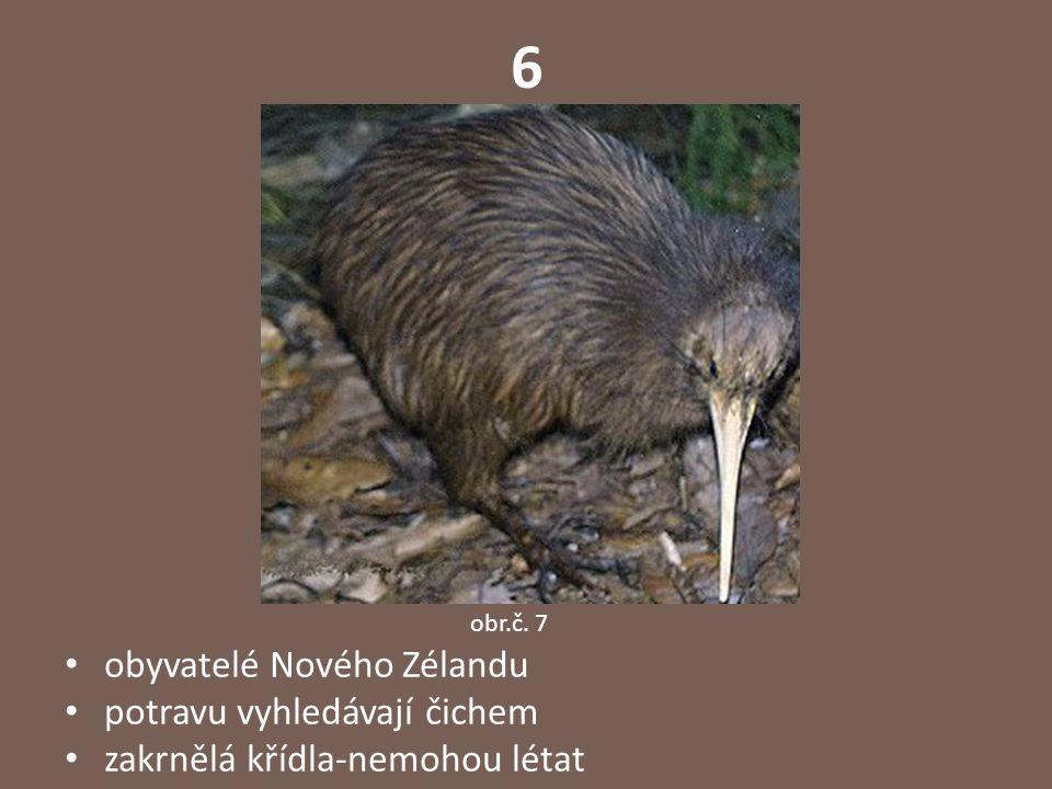6 obyvatelé Nového Zélandu potravu vyhledávají čichem zakrnělá křídla-nemohou létat obr.č. 7