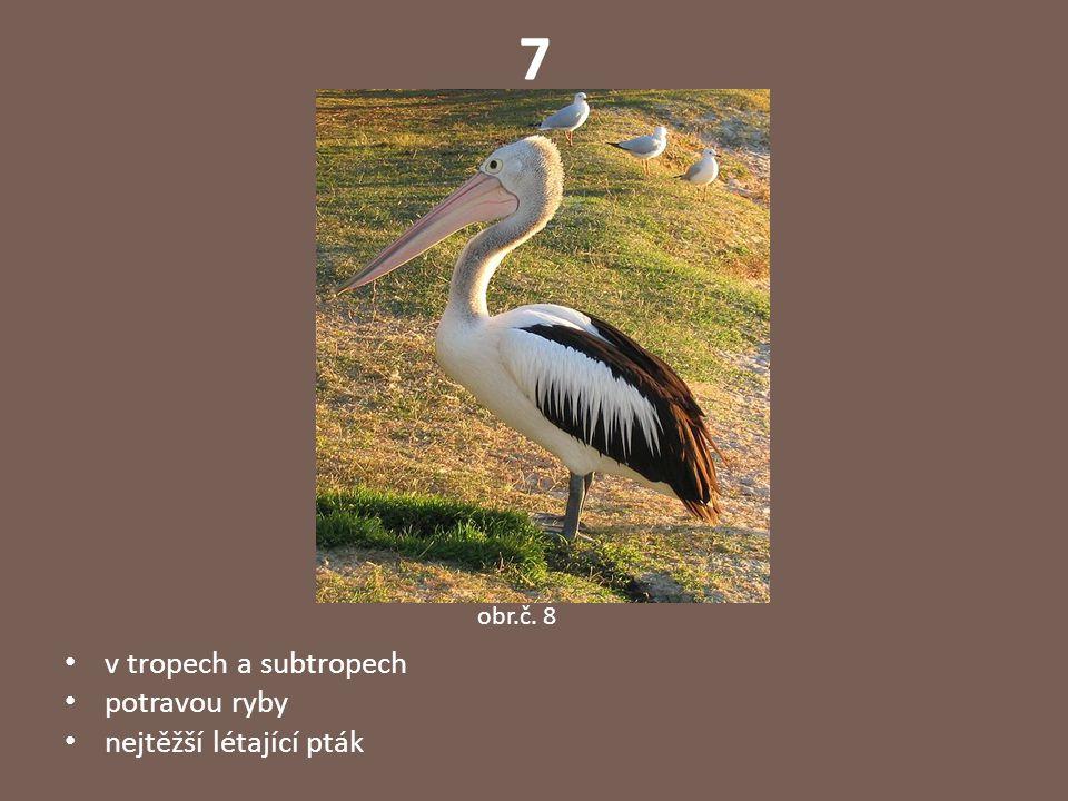 7 v tropech a subtropech potravou ryby nejtěžší létající pták obr.č. 8