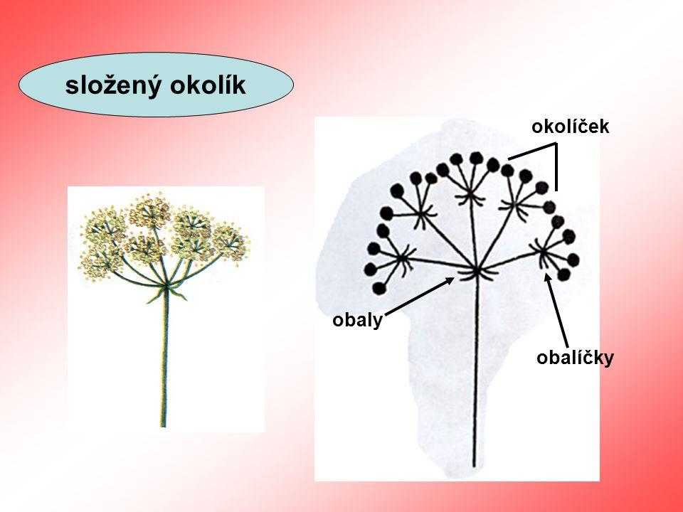 úbor jazykový květ trubkový květ květní lůžko zákrov