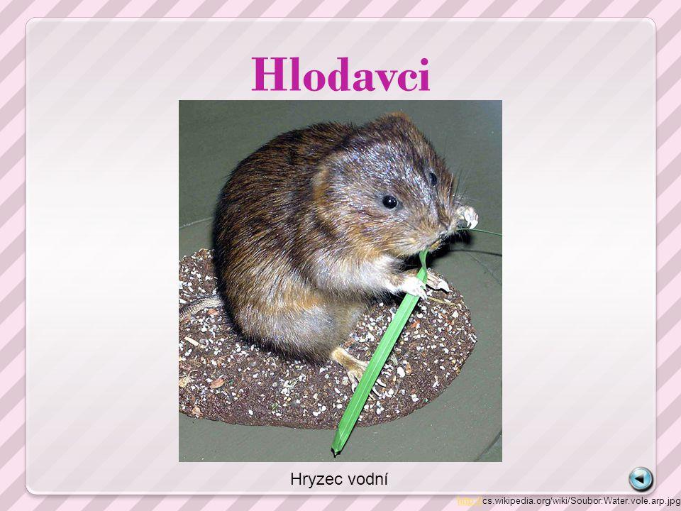 Hlodavci http://http://cs.wikipedia.org/wiki/Soubor:Water.vole.arp.jpg Hryzec vodní