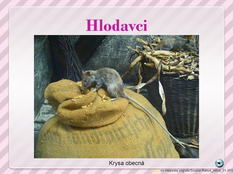 Hlodavci http://http://cs.wikipedia.org/wiki/Soubor:Rattus_rattus_01.JPG Krysa obecná