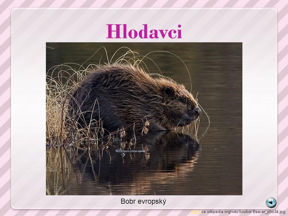 Hlodavci http://http://cs.wikipedia.org/wiki/Soubor:Beaver_pho34.jpg Bobr evropský