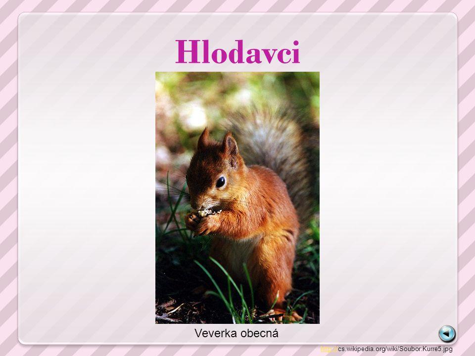 Hlodavci http://http://cs.wikipedia.org/wiki/Soubor:Kurre5.jpg Veverka obecná