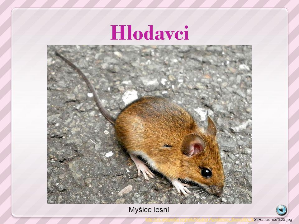 Hlodavci http://cs.wikipedia.org/wiki/Soubor:Apodemus_flavicollis_%http://cs.wikipedia.org/wiki/Soubor:Apodemus_flavicollis_%28Ratiborice%29.jpg Myšic
