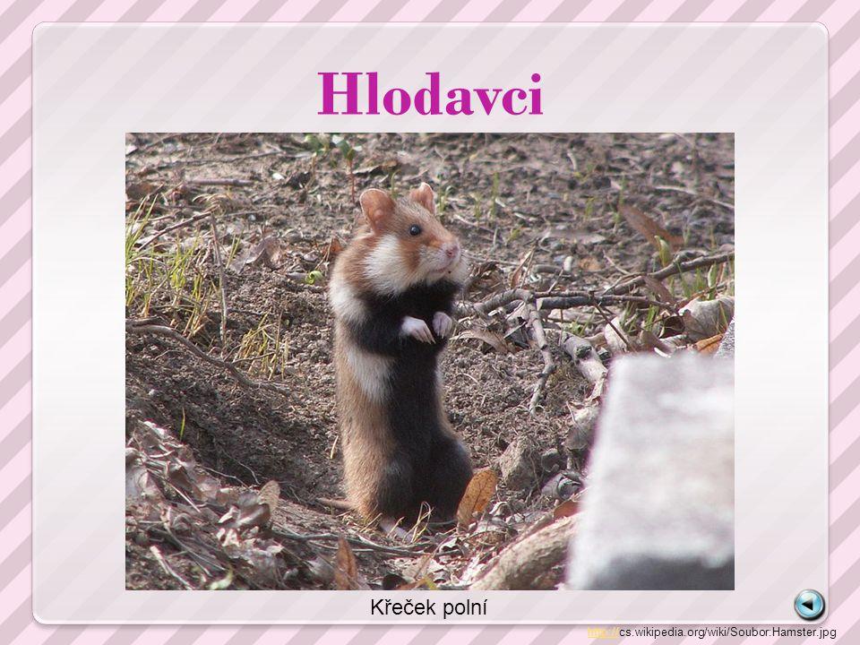 Hlodavci http://http://cs.wikipedia.org/wiki/Soubor:Hamster.jpg Křeček polní