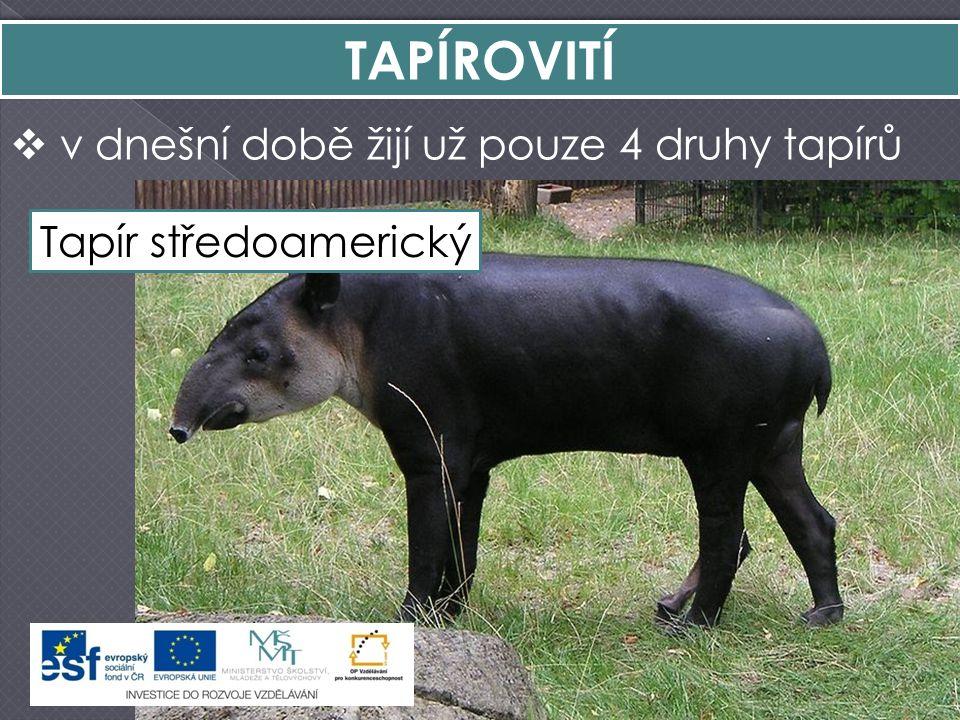 TAPÍROVITÍ  v dnešní době žijí už pouze 4 druhy tapírů Tapír čabrakovýTapír horskýTapír jihoamerickýTapír středoamerický