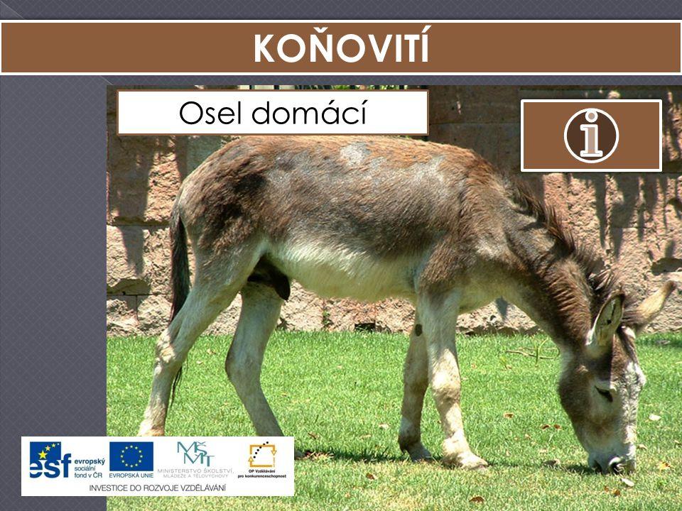 KOŇOVITÍ Kůň Převalského Zebra stepní Osel africký Osel domácí