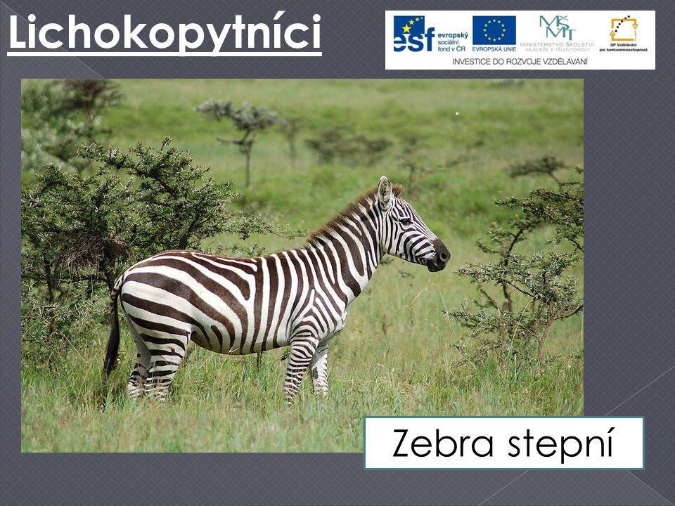 Lichokopytníci Zebra stepní