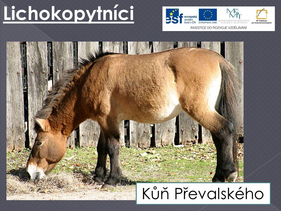Lichokopytníci Kůň Převalského